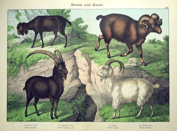 Antique Print of Sheep and Goats - 1889 Large Chromolithograph