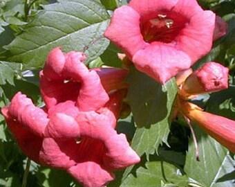 """Flamenco Red Trumpet Vine - Campsis - 2.5"""" Pot"""