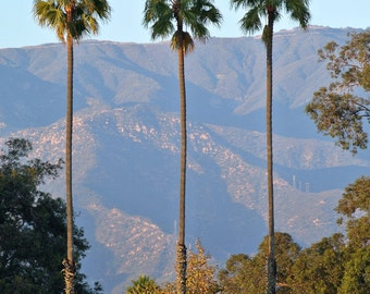 Santa Barbara Palms, Palm Tree Print, California Print - Photo Print