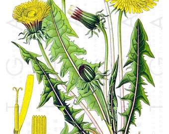 Antique Botanical Print Lovely Blooming Dandelion Plant. Yellow Flowers Vintage Illustration. Digital Botanical Download.