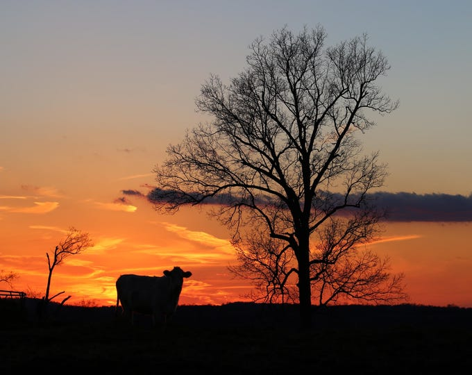 Photography, Landscape, Title:  Sunset Over Lone Cow On The Jolly Farm