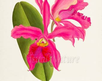 Hot Pink Cattleya Flower Art Print, Botanical Art Print, Flower Wall Art, Orchid Flower Print, Floral Print, Home Decor, pink