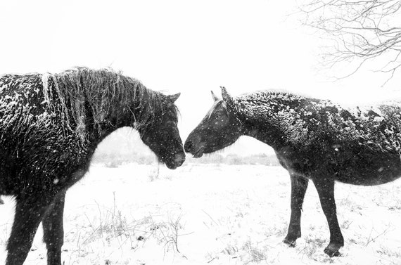 "Horse print,""Snow Horses"", New Forest Ponies, Animal Prints, Dorset Prints, Equine Photography, Black Horses"