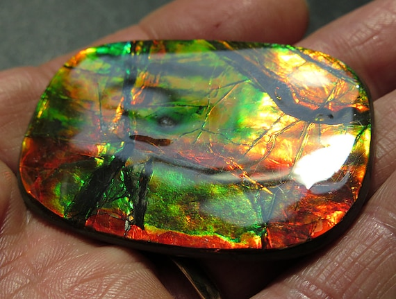 Large 2 3/16 inch across Wildly colorful Ammolite. Mined from the City of Lethbridge, Alberta, Canada. Bear Paw Deposit