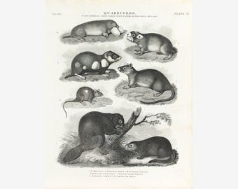 Beaver Rat Mouse Mole Antique Animal Print 1834