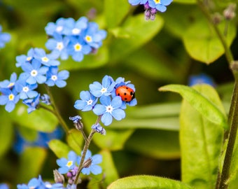 Ladybird resting on Forget Me Nots flowers.