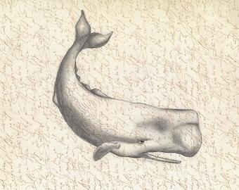 Sperm whale 8x10 art print of original pencil drawing