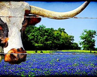 Longhorns and Bluebonnets - Texas Photography, Springtime Photo, Cattle, Animal, Cowboy, Old West, Texan, Blue, Rural, Texas Bluebonnets