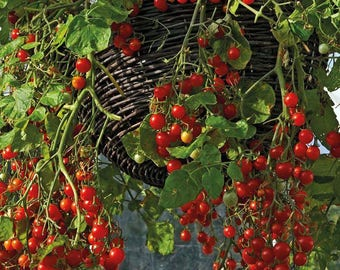 Tomato Hundreds and Thousands Seeds