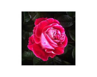 Deep Pink Rose Photograph, Perfect Rose, Fuchsia Pink, Mothers Day Gift, Flower Photography