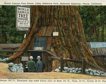 Lilley Redwood Park World Famous Tree House Piercy California Vintage Postcard 1941