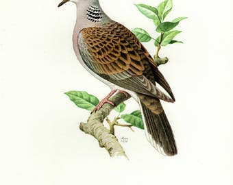 Vintage lithograph of the European turtle dove from 1958