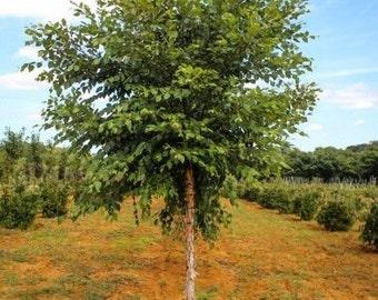 River Birch single stem tree (betulanigra)