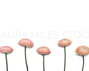 Styled Stock Photo / Flower Stock Photo / Floral Styled Photo / Ranunculus Stock Photo / Valentine's Day Stock Photo / Digital Background