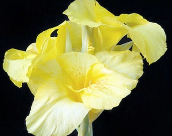 3 Canna Cream & Yellow Eureka medium canna lily Bulbs/Rhizomes