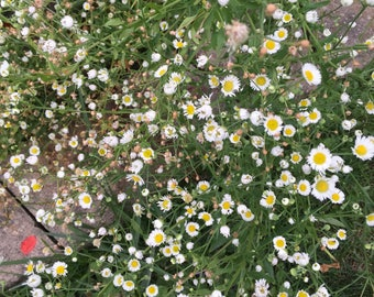 Daisies babes baby