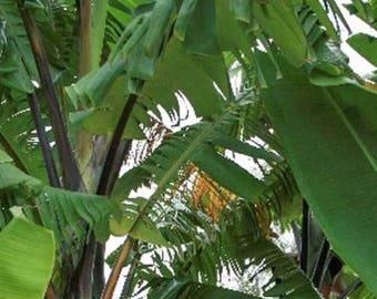 Musa balbisiana Atia Black 10 seeds