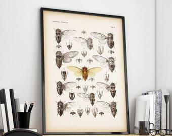 Cicada print, Scientific illustration, Entomology print, 8x10print, 11x14 print, Insect illustration, Vintage insect print, Instant download