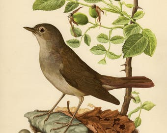 Vintage lithograph of the rufous nightingale or common nightingale from 1953