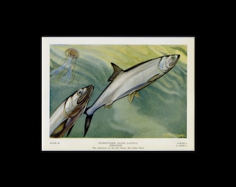 1949 Vintage Fish Print - Tenpounder Fish Book Plate - Fish Wall Art - Ocean Print - Fish Illustration - Fishing Gift - Ocean Decor