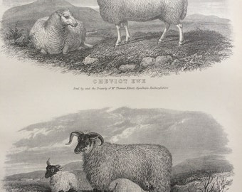 1875 Agriculture Original Antique Steel Engraving Print - Farming - Livestock - Sheep Breeds - wall decor - home decor