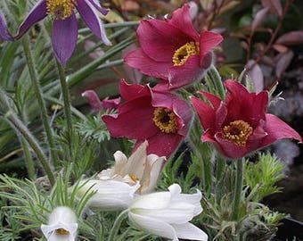 20 Pulsatilla hybrid Seeds,