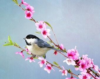 Carolina Chickadee Bird, Bird Photography, Fine Art Photography, Bird Wall Art, Peach Tree, Pink Flower Blossoms, Songbird Art Print
