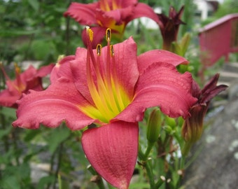 Fire Red Lily Wild Flowers in Bloom Digital Download Nature Photography High Definition 1944 x 2592 Pixels Red Yellow Blossoms Green Buds
