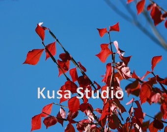 Downloadable Print Photography Red Fall Leaves Blue Sky