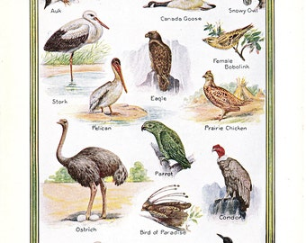 vintage print of Birds, from North to South, a 1926 encyclopedia page