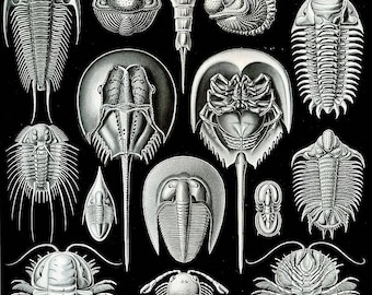 Horseshoe Crabs: vintage style Ernst Haeckel art science hanging print