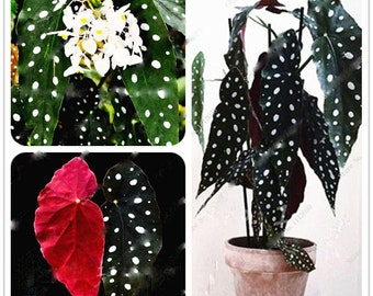 30PcsBag Begonia Seeds,Potted Seed Plant Wave Point Leaves,Bonsai Garden Plant