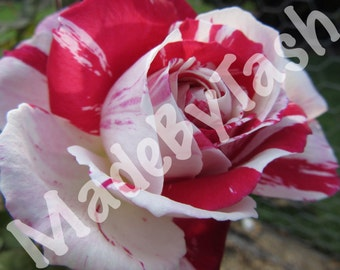 Red and White Rose, digital photo, nature photo, Flower Photo