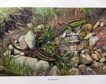 1920 Ancient reptile color engraving , original vintage sand lizard agamacolor lithograph, animal natural history plate print.