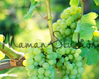 Vineyard photos, vineyard photography, grape photography, grapes on the vine photography print