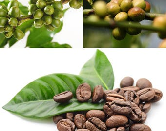 100Pcs Kona Coffee Bean Seeds Awesome Easy to Grow DIY Home Garden Seeds