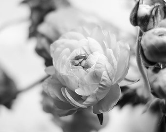 Black and White Ranunculus Photography, Ranunculus, Floral Art, Black and White, Ranunculus Photography, Gallery Wall Art, Office Wall Art