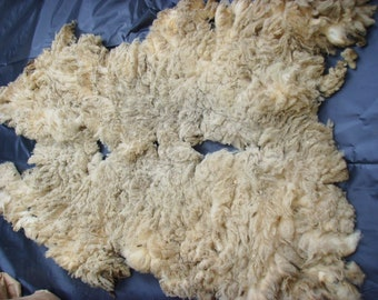 SHETLAND RAM FLEECE / Raw Unwashed / Natural White /British Wool /Conservation Breed /Rare Breed /1.7  kg /60 oz /Spinning Knitting Felting