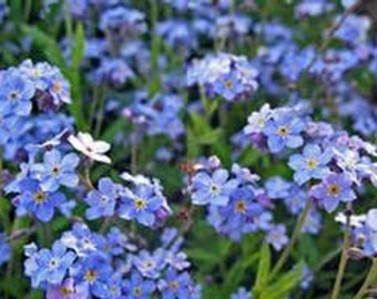 Forget-Me-Not (blue) (Perennial)