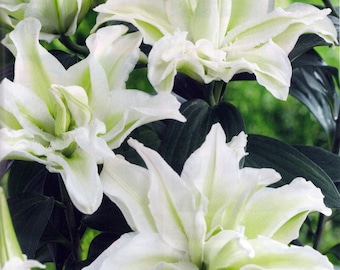Annika Double Oriental Rose Lily 2 Bulbs - Huge Double Blooms - Fragrant