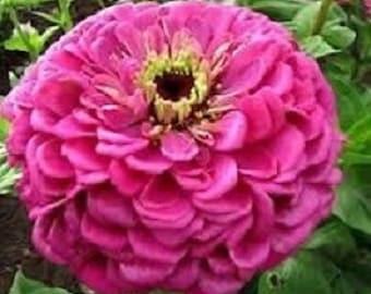 35+ Lilac Zinnia Binary's Giant / Annual Flower Seeds