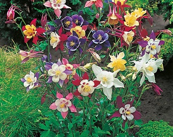 120 Giant Columbine Seed (XL)