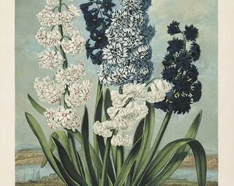 Hyacinth art print vintage botanical art print flower art print garden wall art home decor wall art French art antique prints Victorian art