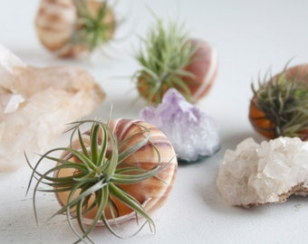 Stocking Stuffer, Air Planter Snail Shell, Air Plant Display, Little Something, Whimsical Wedding, Garden Party Favor, Gift Wrapped