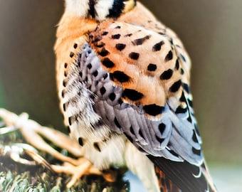 Hawk American Kestrel Bird Nature - Fine Art Photograph Print PIcture