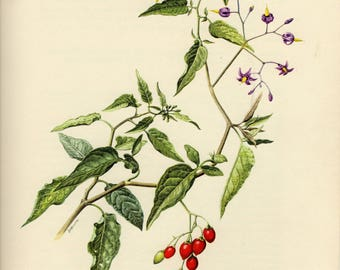 Vintage lithograph of the bittersweet, fellenwort, poisonflower, scarlet berry, snakeberry, blue bindweed or woody nightshade from 1955