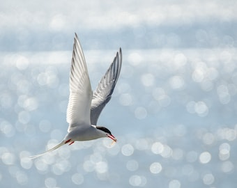 Arctic Tern - Fine Art Nature Photography Print