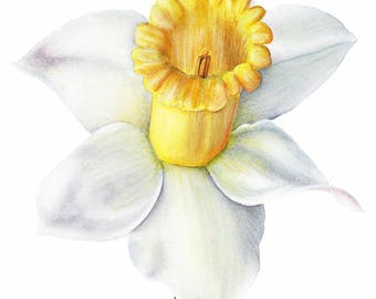 Daffodil Floral Botanical Watercolor Print 4x6