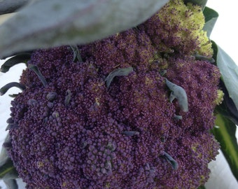 Organic Heirloom Purple Sprouting Broccoli Seeds