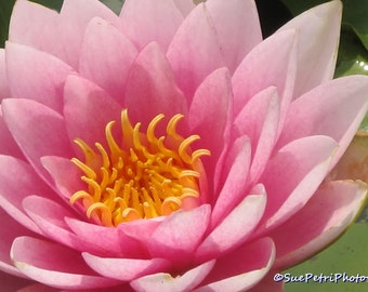 Pink Water Lily, Photograph, Card, Magnet, Water Garden Photos, Shabby Chic, Pink,  Nature Photography, Flower Photos, Romantic Decor